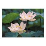 Flor de Lotus en el flor, China Impresion Fotografica