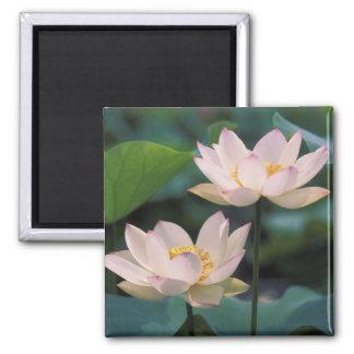 Flor de Lotus en el flor, China Imán Cuadrado