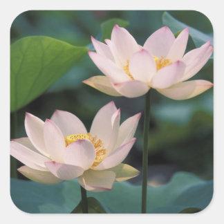Flor de Lotus en el flor, China Pegatina Cuadrada