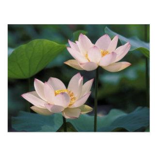Flor de Lotus en el flor China Tarjetas Postales