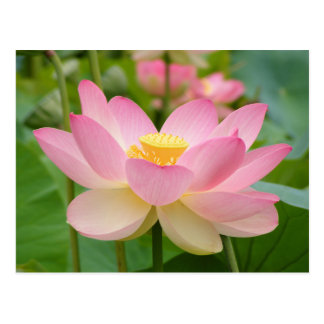 Flor de Lotus en la floración (nucifera del Nelumb Tarjetas Postales