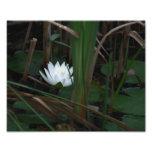 Flor de Lotus Lilypads 10x8 del lirio de agua blan Fotografias