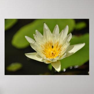 Flor de Lotus (lirio de agua) Póster