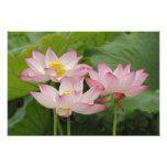 Flor de Lotus, nucifera del Nelumbo, China 2 Fotografía