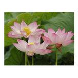 Flor de Lotus, nucifera del Nelumbo, China 2 Tarjetas Postales