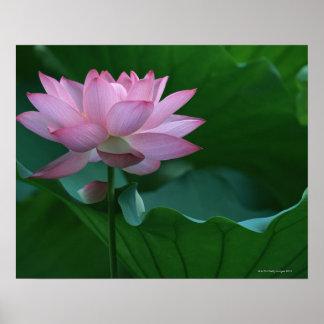 Flor de Lotus Póster