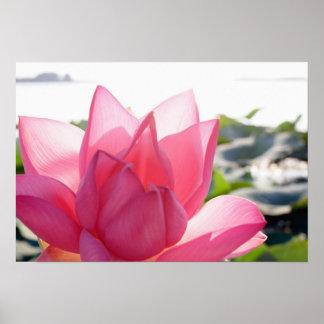 Flor de Lotus speciosum del Nelumbo por completo Posters