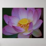 Flor de Lotus y su significado Poster