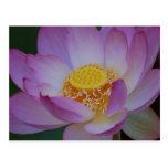 Flor de Lotus y su significado Tarjetas Postales