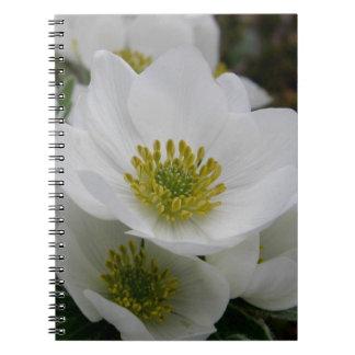Flor de mayo, narcissiflora de la anémona libreta