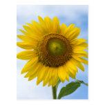 Flor de Sun contra el cielo azul Postales