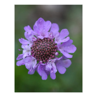 Flor de un lucida de Scabiosa Membrete Personalizado