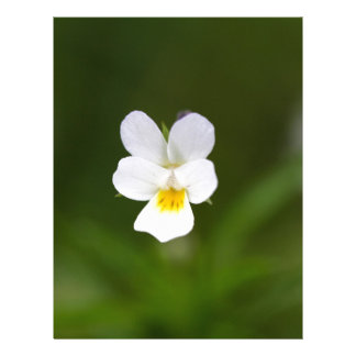 Flor de un pensamiento de campo salvaje membrete