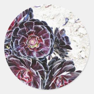 Flor del Aeonium en rocas secas Pegatina Redonda