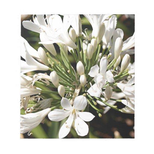Flor del Agapanthus en la floración Bloc