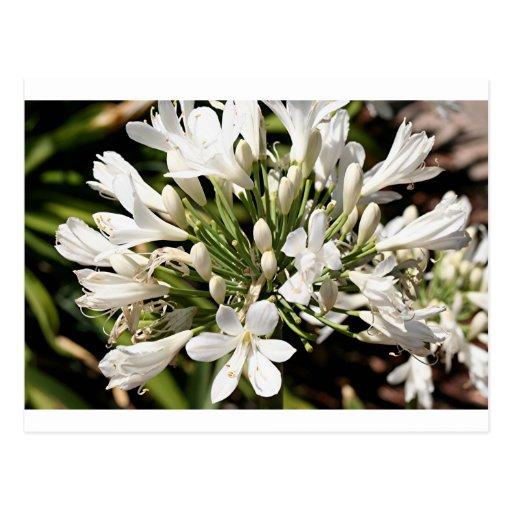Flor del Agapanthus en la floración Tarjeta Postal