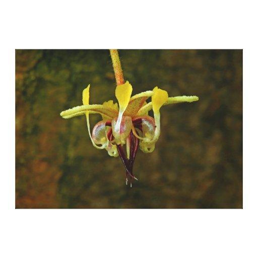Flor del árbol de cacao del Theobroma Lona Envuelta Para Galerias