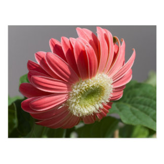 flor del aster en el jardín postales