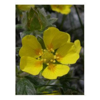 Flor del Cinquefoil, isla de Unalaska Postal