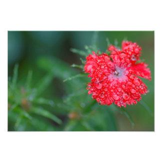 Flor del clavel después de una lluvia cojinete