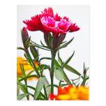 Flor del clavel tarjeta postal