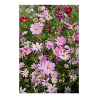Flor del cosmos (Bidens Formosa). Kirkwood Impresiones