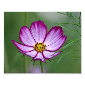 Flor del cosmos del verano fotografía