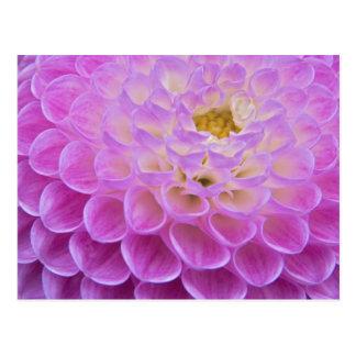 Flor del crisantemo que adorna el sitio grave postal