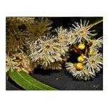 Flor del eucalipto y postal australianas de la fru