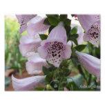 Flor del Foxglove Fotografia