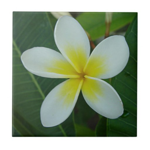 Flor del Frangipani Azulejo Cuadrado Pequeño