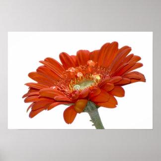 Flor del Gerbera de la margarita anaranjada Póster