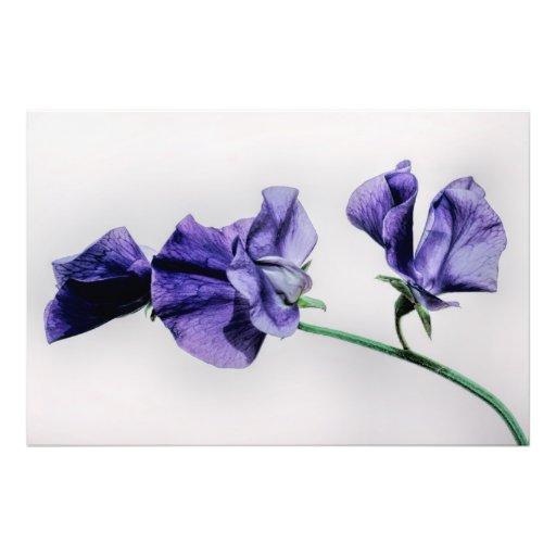 Flor del guisante de olor fotografía