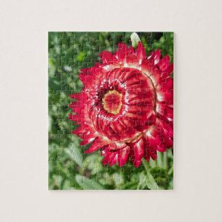 Flor del Helichrysum Rompecabezas Con Fotos