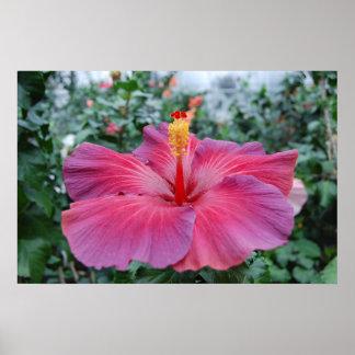 Flor del hibisco póster