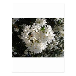 Flor del jazmín tarjetas postales