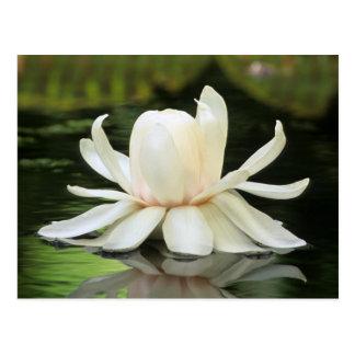Flor del lirio de agua del Amazonas (Victoria Tarjetas Postales