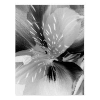 Flor del lirio peruano del Alstroemeria en negro y Tarjetas Postales