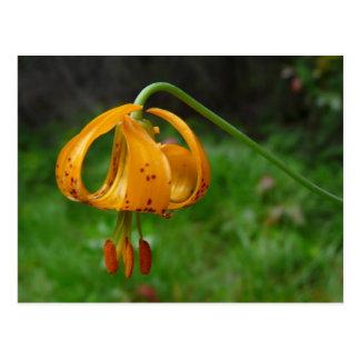 Flor del lirio tigrado del naranja salvaje tarjeta postal