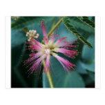 Flor del Mimosa rosado Postales