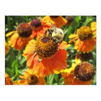 Flor del naranja de la abeja del Helenium Postal