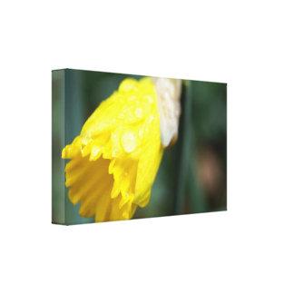 Flor del narciso con las gotitas de agua en lona lona envuelta para galerías