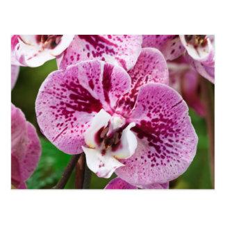 Flor del Phalaenopsis Postales