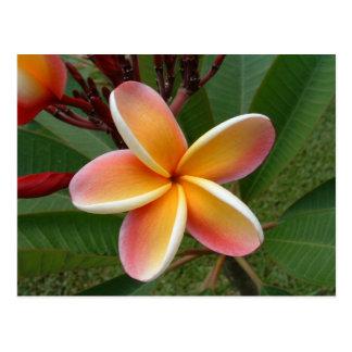 Flor del Plumeria - Oahu, Hawaii Tarjeta Postal