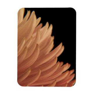 Flor del rosa del crisantemo de la momia iman