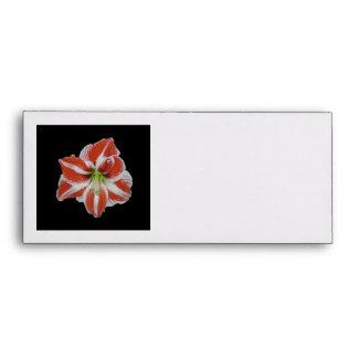 Flor del sobre, rojo y blanco del Amaryllis