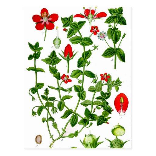 Flor delicada hermosa de la primavera roja postal