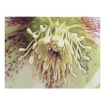 Flor delicado del Hellebore Poster