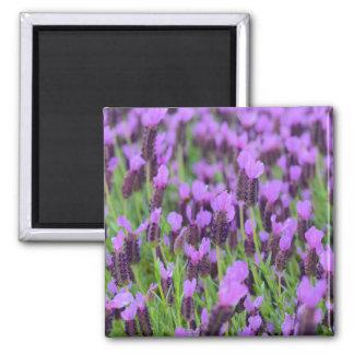 Flor española púrpura de la lavanda imanes