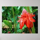 Flor exótica color de rosa del Caribe roja Poster